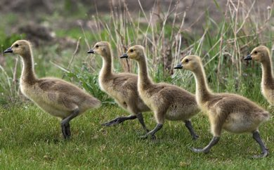 Goslings with some size head for cover Wednesday afternoon on Commerce Drive in Tuxedo Business Park - See Bryksa 30 Goose Challenge- Day 12- May 16, 2012   (JOE BRYKSA / WINNIPEG FREE PRESS)
