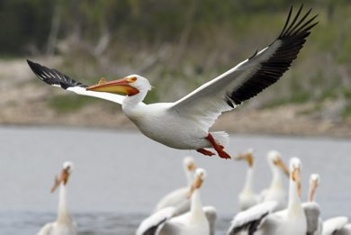An American White Pelican takes flight from the banks of the Red River in Lockport, MB. A group of pelicans is referred to as a pod and the American White Pelican is the only pelican species to have a horn on its bill. May 16, 2012. SARAH O. SWENSON / WINNIPEG FREE PRESS