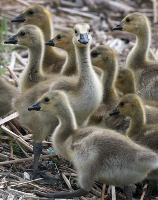Goslings enjoy Fridays warm weather to soak up some sun and gobble some grass on Heckla Ave in Winnipeg Friday afternoon- See Bryksas 30 DAY goose challenge - May 18, 2012   (JOE BRYKSA / WINNIPEG FREE PRESS)