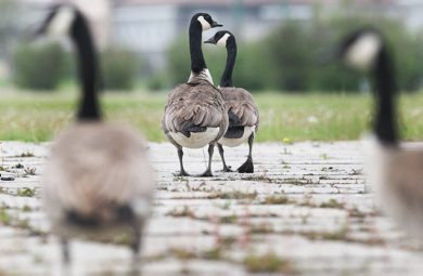 Someone or thing is taking advantage of the inactivity at Kapyong Barracks,hundreds of Canada Geese-See Joe Bryksa's goose a day for 30 days challenge- Day 15- May 22, 2012   (JOE BRYKSA / WINNIPEG FREE PRESS)