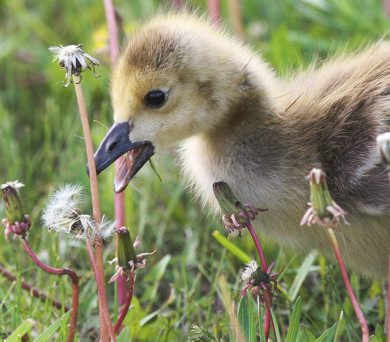 A young gosling prepares to eat dandelions on King Edward St Thursday morning-See Bryksa 30 Day goose challenge- Day 17- bonus - May 24, 2012   (JOE BRYKSA / WINNIPEG FREE PRESS)