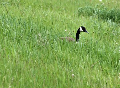 Goose sits in high grass near Marion Friday afternoon for cover -See Bryksa 30 Day goose challenge- Day 18 - May 25, 2012   (JOE BRYKSA / WINNIPEG FREE PRESS)