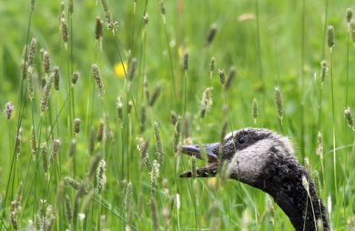 A young goose gobbles up grass at Fort Whyte Alive Monday morning- Young goslings are starting to show the markings of a adult geese-See Bryksa 30 day goose challenge- Day 20– June 11, 2012   (JOE BRYKSA / WINNIPEG FREE PRESS)