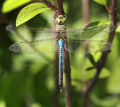 Winnipegs best friend the dragon fly takes a break at English Gardens in Assiniboine Park Wednesday- A dragon fly can eat  food equal to its own weight in 30 minutes-Standup photo- June 13, 2012   (JOE BRYKSA / WINNIPEG FREE PRESS)