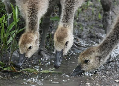 Young goslings jostle for position to take a drink from a puddle in Brookside Cemetery Thursday morning- Day 23– June 14, 2012   (JOE BRYKSA / WINNIPEG FREE PRESS)