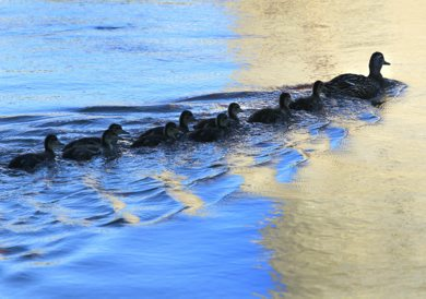 A female Mallard duck leads a group of duckings on a morning swim through the reflections in the Assiniboine River at The Forks Monday.     (WAYNE GLOWACKI/WINNIPEG FREE PRESS) Winnipeg Free Press  June 18 2012