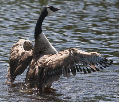 A goose cools off Thursday in water at Omands Creek Park-See Bryksa 30 day goose challenge- Day 25– June 21, 2012   (JOE BRYKSA / WINNIPEG FREE PRESS)