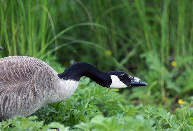 A goose heads for shade in the sunshine Friday afternoon at Woodsworth Park in Winnipeg - Day 26– June 22, 2012   (JOE BRYKSA / WINNIPEG FREE PRESS)