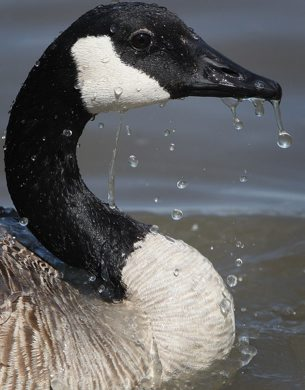 A Canada Goose cools off in a water pond Monday afternoon at Brookside Cemetary- See Bryksa's Goose a day Challenge– Day 27-June 25, 2012   (JOE BRYKSA / WINNIPEG FREE PRESS)