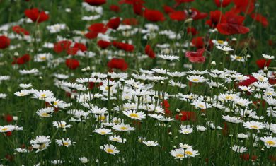 STDUP – Beautiful West End  begins it's summer of bloom with boulevard s, front yards  and even back lane gardens ,  coming alive with flowers , daisies and poppies  dress up a backyard lane on Camden St near Wolseley Ave  KEN GIGLIOTTI  / WINNIPEG FREE PRESS  /  June 26 2012