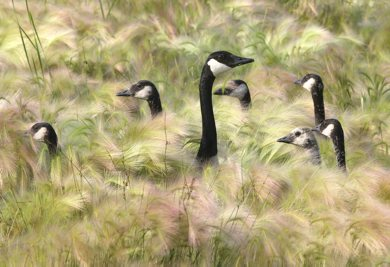 Geese take cover in long grass in the Tuxedo Business Park near Route 90 Wednesday- Day 28 June 27, 2012   (JOE BRYKSA / WINNIPEG FREE PRESS)