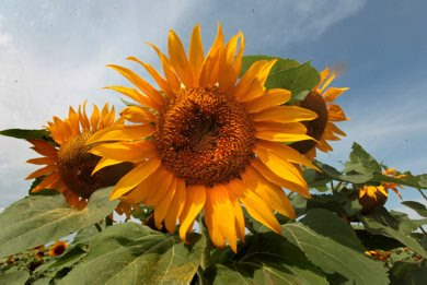 Bright sunflowers lift their heads toward the south east skies in a  large sunflower field on Hwy 206 and #1 Thursday Standup photo. July 31,  2012 (Ruth Bonneville/Winnipeg Free Press)