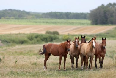 Horses enjoy a beautiful September morning east of Neepawa, Manitoba  - Standup Photo– Sept 04, 2012   (JOE BRYKSA / WINNIPEG FREE PRESS)
