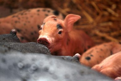 A one day old piglet glances up from his morning feeding at Cedar Lane Farm near Altona.    Standup photo Ruth Bonneville Winnipeg Free Press
