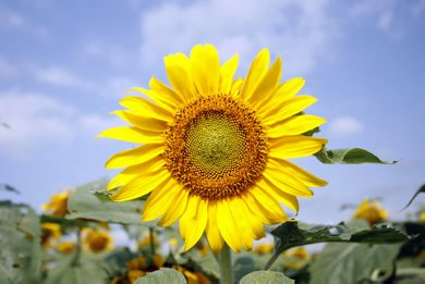MIKE APORIUS/WINNIPEG FREE PRESS STANDUP - pretty sunflower in field off HWY 206 near Bird's Hill Park Thursday August 09/2007