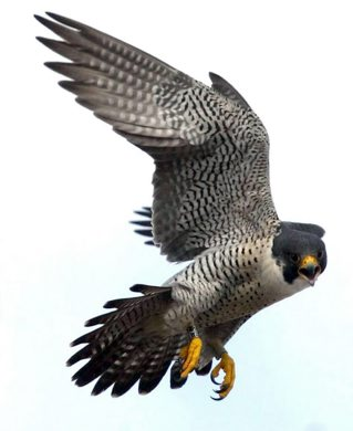 Marc Gallant/Winnipeg Free Press. Local- Peregrine Falcon Recovery Project. Baby peregrine falcons. 21 days old. Three baby falcons. Born on ledge on roof of Radisson hotel on Portage Avenue. Project Coordinator Tracy Maconachie said that these are third generation falcons to call the hotel home. Maconachie banded the legs of the birds for future identification as seen on this adult bird swooping just metres above. June 16, 2004.