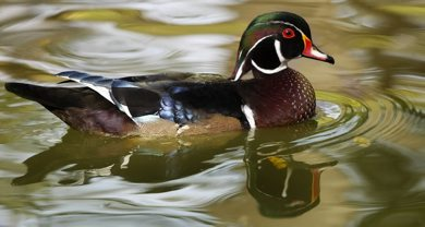 JOE BRYKSA/WINNIPEG FREE PRESS Local-(Standup photo)- A wood duck swims through the water with fall refections in Kildonan Park Thursday afternoon.