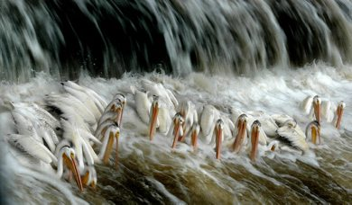 PHIL.HOSSACK@FREEPRESS.MB.CA 090728 / WINNIPEG FREE PRESS White Pelicans belly up to the sushi bar Tuesday afternoon at Lockport. One of North America's largest birds is a common sight along the Red RIver and on Lake Winnipeg. Here the fight each other for fish near the base of Red RIver's control structure, giving human fisher's downstream a run for their money.