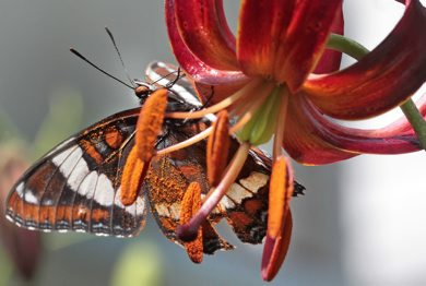 JOE.BRYKSA@FREEPRESS.MB.CA Local-(  Standup photo)-    A butterfly looks for nector on a lily Tuesday afternoon in Wolseley-JOE BRYKSA/WINNIPEG FREE PRESS- June 22, 2010