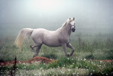 Marc Gallant / Winnipeg Free Press.  Local/Standup- Morning Fog. Horse prances in field by McPhillips Road, north of Winnipeg. 060605.