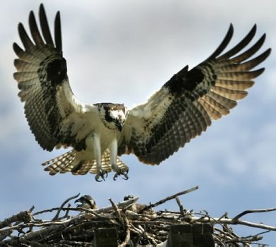 JOE BRYKSA/WINNIPEG FREE PRESS Local- A large osprey lands in it's nest in a hydro pole on Hyw 59  near the Hillside Beach turnoff turn off. Osprey a large narrow winged hawk which can have a wingspan of over 54 inches are making a incredible recovery since pesticide use of the 1950's and  1960's- For the last two decades these fish hawks have been reappearing in the Lake Winnipeg area- Aug 03, 2005