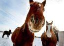 """Ruth Bonneville Winnipeg Free Press January 18, 2011 Local Standup - """"Ace"""" a gelding thorough horse at SouthCreek Stables in Stl Norbert doesn't seem to mind the cold as he peers into the camera lens with a  frosty nose  Tuesday afternoon."""