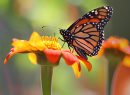 A monarch butterfly looks for nectar in Mexican sunflowers at Winnipeg's Assiniboine Park Monday afternoon-Monarch butterflys start their annual migration usually in late August with the first sign of frost- Standup photo– August 22, 2011   (JOE BRYKSA / WINNIPEG FREE PRESS)