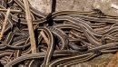Garter snakes ...