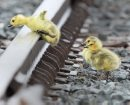 Challenges of Life- Goose Goslings jump over railway tracks to catch up to their parents at the Canadian Pacific Rai