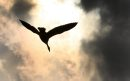 A Canada goose flies towards the sun near the Perimeter Highway North and Main St Monday afternoon – See Day 10 for Bryksa's 30 goose project - May 11, 2012   (JOE BRYKSA / WINNIPEG FREE PRESS)