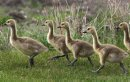 Goslings with ...