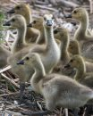 Goslings enjoy ...