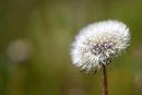 A dandelion ...