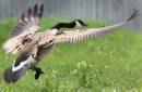 A goose flys ...