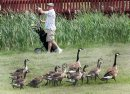 A golfer looks for his ball in a water trap at John Blumberg Golf Course Friday afternoon as geese and goslings run for safety- See Joe Bryksa's 30 day goose challenge- Day 24– June 15, 2012   (JOE BRYKSA / WINNIPEG FREE PRESS)