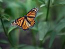 A Monarch butterfly flys for cover out of the wind Monday at Living Prairie museum at 2795 Ness Ave in Winnipeg on Monday afternoon – Standup photo-July 16, 2012   (JOE BRYKSA / WINNIPEG FREE PRESS)