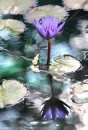 A water lily in full bloom is reflected in the pond at the