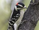 A Downy Woodpecker at work in Kildonan Park Tuesday- The Downy woodpecker is the smallest in North America but is also the most common- Standup photo– September 25, 2012   (JOE BRYKSA / WINNIPEG FREE PRESS)