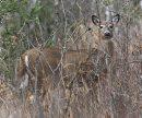 Whitetail deer ...