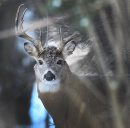 A majestic large White-tailed deer listens for sounds in the forest Tuesday morning near La Barriere Park in the RM of Richot– Standup Photo- November 27, 2012   (JOE BRYKSA / WINNIPEG FREE PRESS)