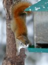 A red squirrel checks out some bird feed in North Kildonan. It is thought that the long tail helps the squirrel to balance and steer when jumping from tree to tree and running along branches and may keep the animal warm during sleep(from wiki). December 19, 2012  BORIS MINKEVICH / WINNIPEG FREE PRESS