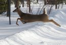 A deer leaps ...