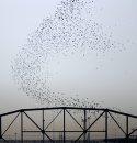Pigeons ...