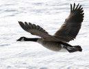 A Canada goose ...