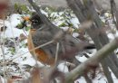 A robin hides in hedges in Lockport, Manitoba to get through the chilly Manitoba day today–Standup Photo- May 01, 2013   (JOE BRYKSA / WINNIPEG FREE PRESS)