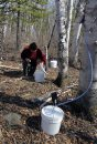 Birch syrup ...