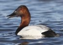 Canvasback ...