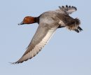 Redhead duck ...