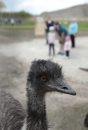 An Emu in the ...