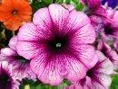 A pretty ...